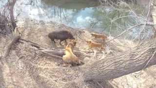 getlinkyoutube.com-Texas Hog Catchers 2013
