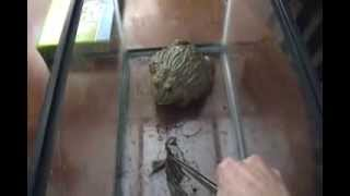 getlinkyoutube.com-Giant African Bullfrog Mr. Pickles eats a Bird