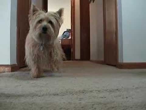Videos Related To 'spanky The Cairn Terrier Battles His Mons