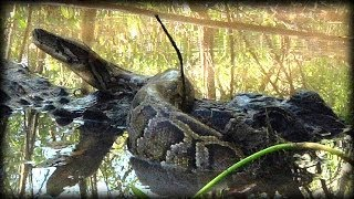 getlinkyoutube.com-Alligator Attacks Python 07   Dangerous Animals
