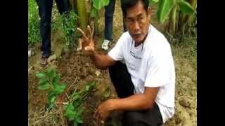 getlinkyoutube.com-ปลูกมะนาวลงดินแบบไม่ใช้ดินสูตรสวนมะนาววโรชา
