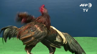 getlinkyoutube.com-Feathers fly over Thailand's lucrative cockfighting pits