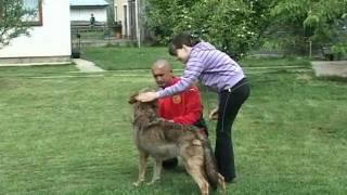 getlinkyoutube.com-Vuk i sarplaninac zajedno u dvoristu WOLF AND DOGS