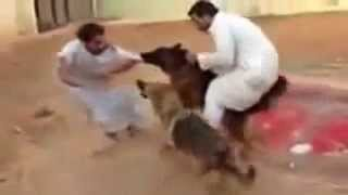 getlinkyoutube.com-German Shepherd Attack