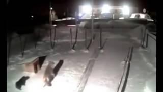 ذئب يأكل كلب مثل اكل الدجاجة