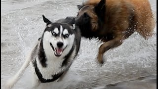 getlinkyoutube.com-Lihkku & Eddy Siberian Husky & Tervueren Playing in the water! (Belgian Shepherd)