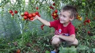 getlinkyoutube.com-Выращивание томатов в природном земледелии (семинар)