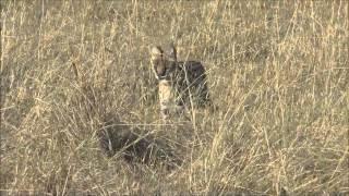 Serval Cat Killing Rabbit - Maasai Mara - Kenya