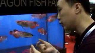 getlinkyoutube.com-Imperial Arowana interview at Aquarama
