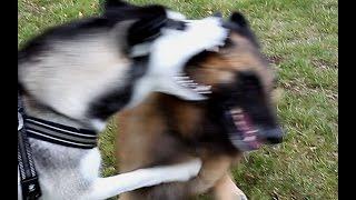 getlinkyoutube.com-Siberian Husky vs Tervueren  (Belgische herdershond) Belgian Shepherd