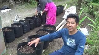 getlinkyoutube.com-Budidaya Pare dalam Polybag di Pekarangan Rumah