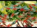 Ikan Hias NEON | Memelihara Dan Merawat Ikan Neon Tetra