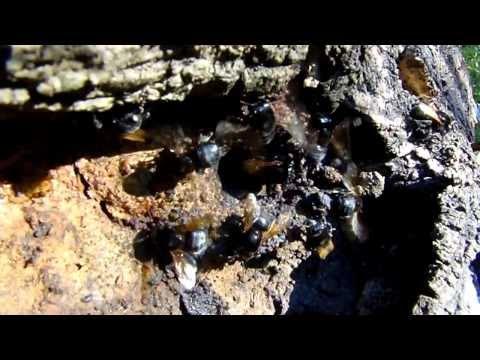 Meliponicultura. Recuperación y estudio de las abejas nativas. (Melipona Fuliginosa)