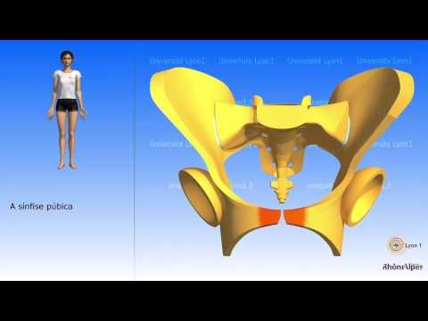 Representação esquemática da pelve o osso do quadril esquematizado