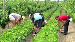 getlinkyoutube.com-Strawberry picking season  2013 in Kisac.
