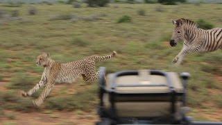 getlinkyoutube.com-Zebra vs Cheetah