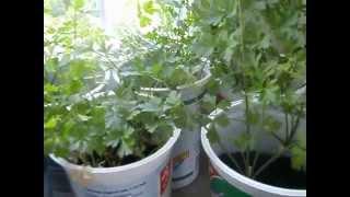 Выращивание зелени петрушки на подоконнике
