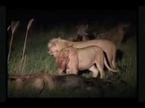 Hyenas Vs. Lions - The Blunt Truth - King Of The Jungle