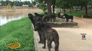 getlinkyoutube.com-เรื่องเล่าเช้านี้ แก๊งหมาดำแสนรู้ ฟิตโชว์ว่ายน้ำข้ามแม่น้ำน่านทุกวัน