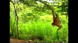 getlinkyoutube.com-monkey pranks tiger
