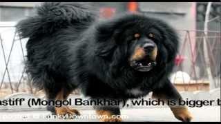 getlinkyoutube.com-Tibetan Mastiff