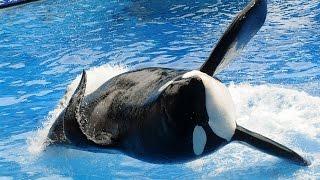 getlinkyoutube.com-Killer Whale Tilikum That Attacked Sea World Trainer Has Died
