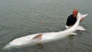 getlinkyoutube.com-World's Biggest Sturgeon Ever Caught