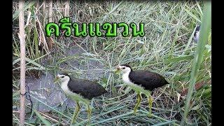 getlinkyoutube.com-ครืนแขวนดักนกกวัก บังรี นราฯ