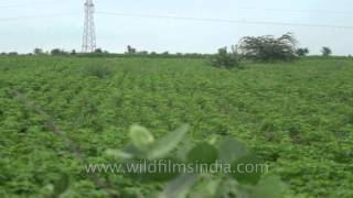 getlinkyoutube.com-Green Moong ki Daal fields: Florican nesting grounds