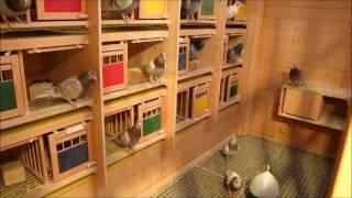 getlinkyoutube.com-racing pigeons - Brieftauben im Dezember (HD)