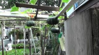 getlinkyoutube.com-屎尿淋菜園,怎樣有機種植