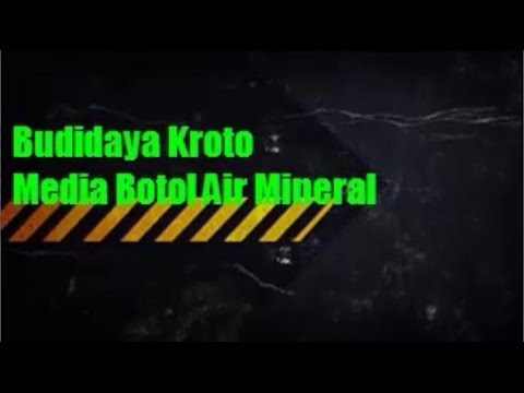 Cara Budidaya Kroto Media Botol Air Mineral