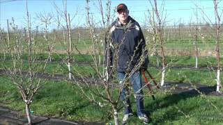 getlinkyoutube.com-Pruning Gisela cherry trained to KGB
