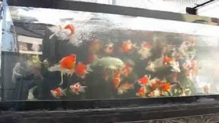 金魚水槽 水替え中.wmv