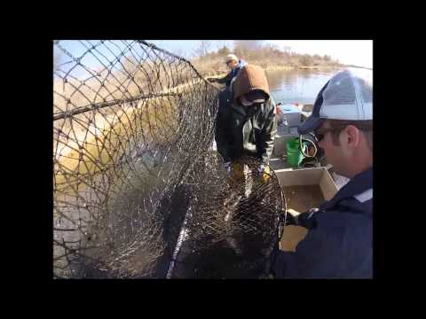Trap netting Muskie and Saugeye with the DNR on Lake Evergreen  2014