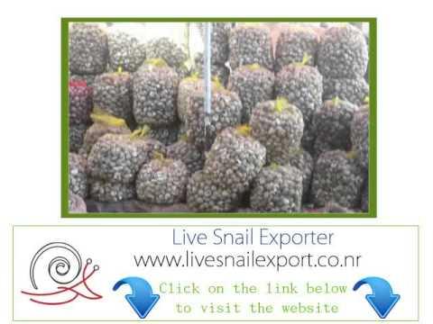 allevamento Produttore Esportazione lumaca congelati
