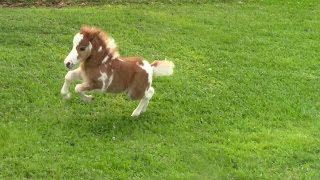"""SOLD"" Miniature horse for sale - Dent Lucky Splasher - 2015 Foal"