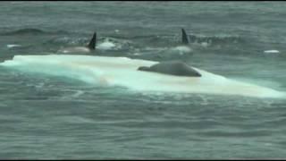 getlinkyoutube.com-Orcas hunting seal on ice floe in Antarctica