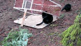 getlinkyoutube.com-Trapping Feral Cats.AVI