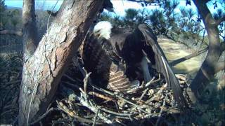 getlinkyoutube.com-Bald Eagle Attacks Owl for trying to take over nest