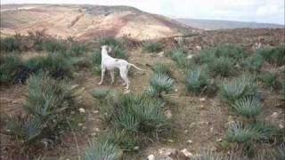 getlinkyoutube.com-Pointer chasse maroc