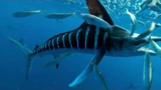 getlinkyoutube.com-SPEARED by a MARLIN