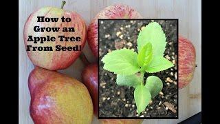 getlinkyoutube.com-How to Grow an Apple Tree From Seed!