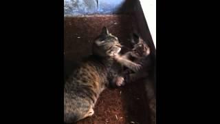 getlinkyoutube.com-子猫 母猫とじゃれて階段から落ちるkitten plays with her sweet mum