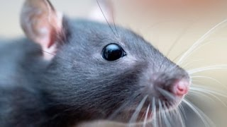 What's It Like to Own a Rat? | Pet Rats