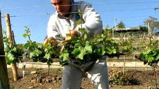 getlinkyoutube.com-Thinning New Shoots of Young Grapevines in the Vineyard