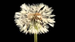 getlinkyoutube.com-Quá trình nở hoa của bồ công anh