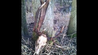 getlinkyoutube.com-Zrzuty jelenia 2014 - pomylony byk