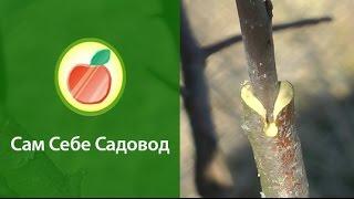 getlinkyoutube.com-Прививка прививочным секатором, когда не совпадает толщина подвоя и привоя