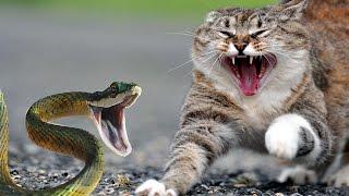 getlinkyoutube.com-Brave Cats Fight Snakes